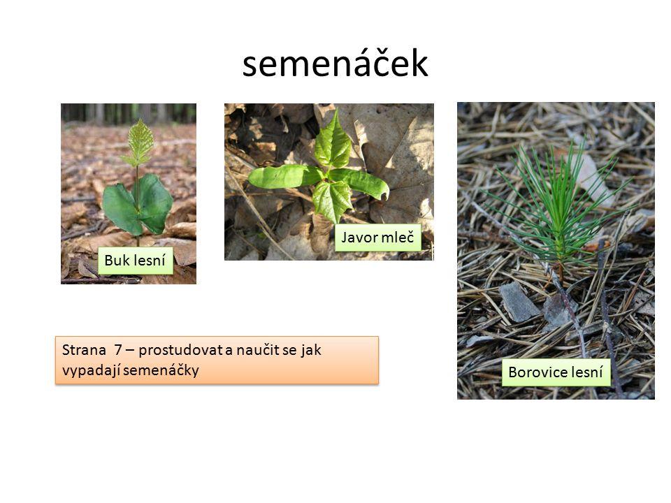 semenáček Buk lesní Javor mleč Borovice lesní Strana 7 – prostudovat a naučit se jak vypadají semenáčky