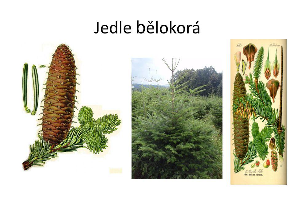 Jedle b ělokorá