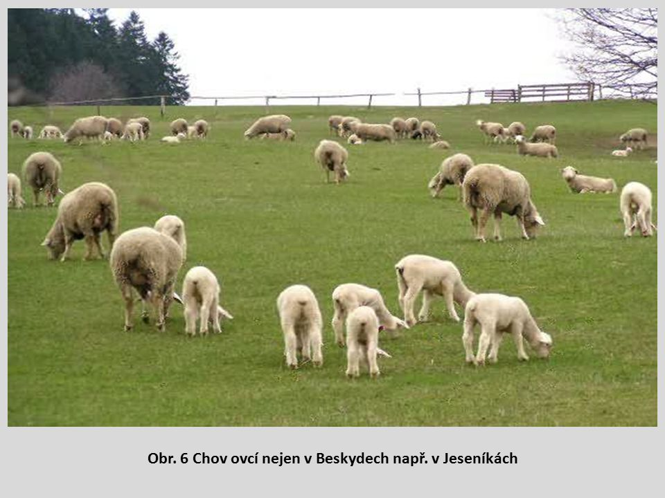 Obr. 6 Chov ovcí nejen v Beskydech např. v Jeseníkách