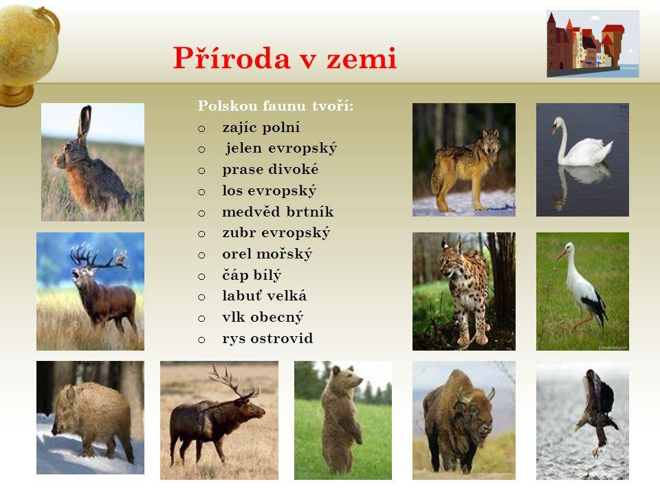 Příroda v zemi Polskou faunu tvoří: o zajíc polní o jelen evropský o prase divoké o los evropský o medvěd brtník o zubr evropský o orel mořský o čáp b