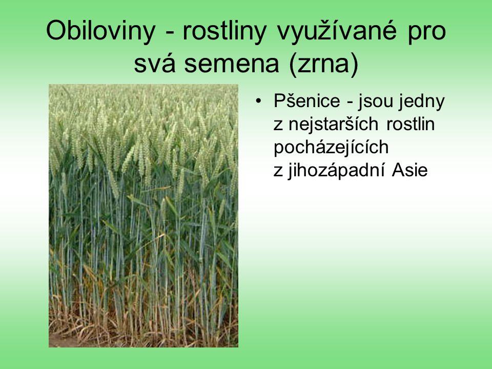 Obiloviny - rostliny využívané pro svá semena (zrna) Pšenice - jsou jedny z nejstarších rostlin pocházejících z jihozápadní Asie