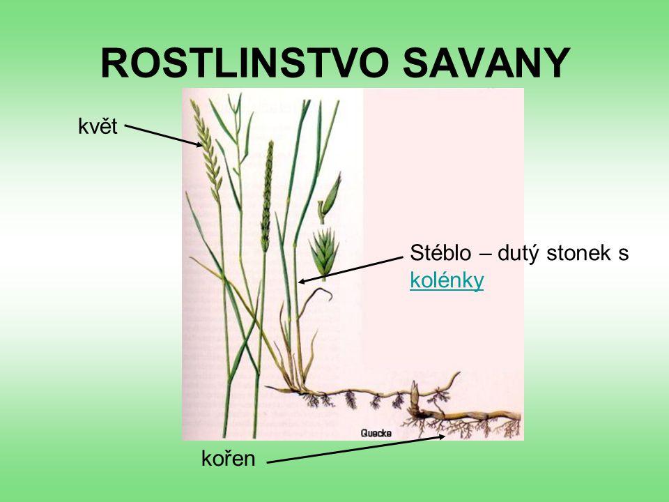 ROSTLINSTVO SAVANY kořen Stéblo – dutý stonek s kolénky kolénky květ