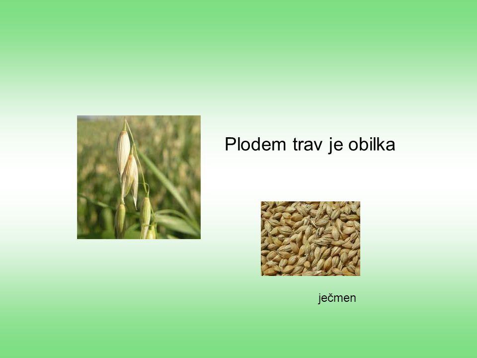 Plodem trav je obilka ječmen