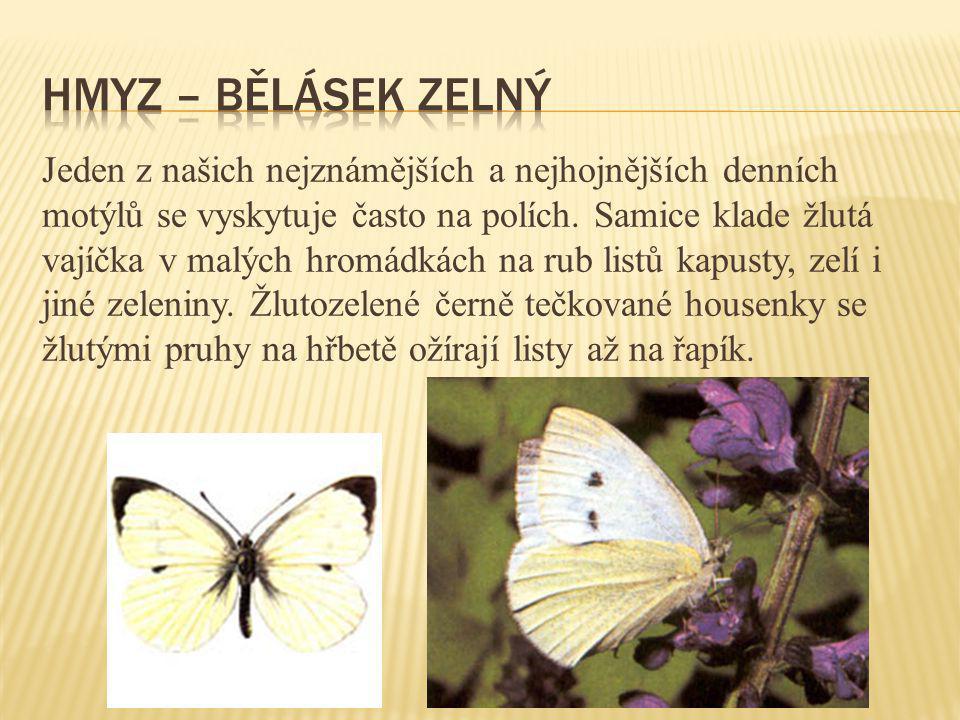 Jeden z našich nejznámějších a nejhojnějších denních motýlů se vyskytuje často na polích. Samice klade žlutá vajíčka v malých hromádkách na rub listů