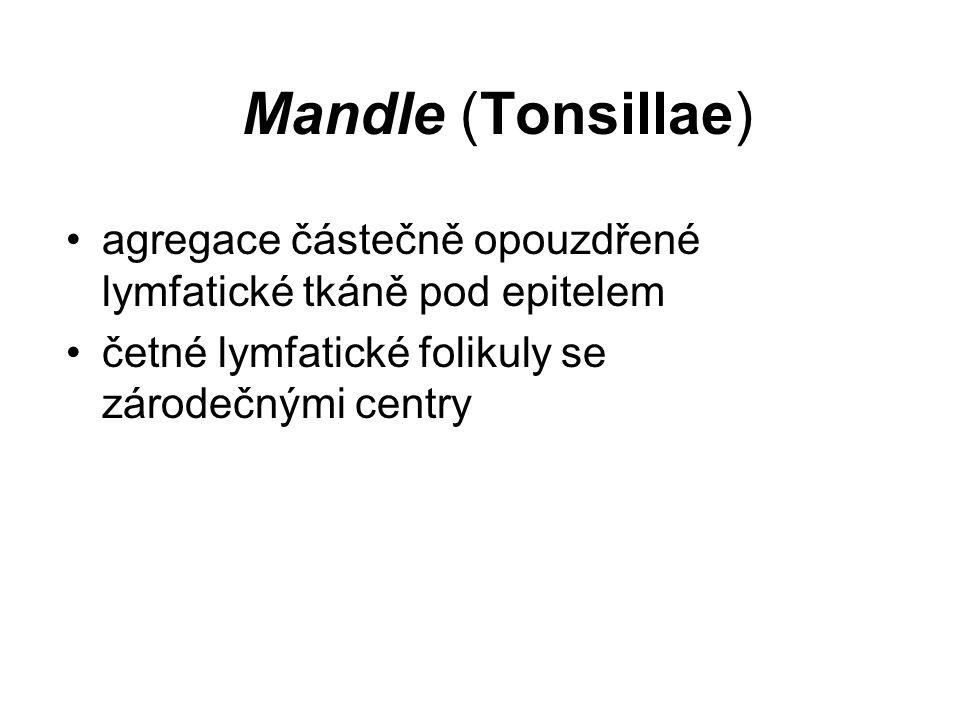 Mandle (Tonsillae) agregace částečně opouzdřené lymfatické tkáně pod epitelem četné lymfatické folikuly se zárodečnými centry