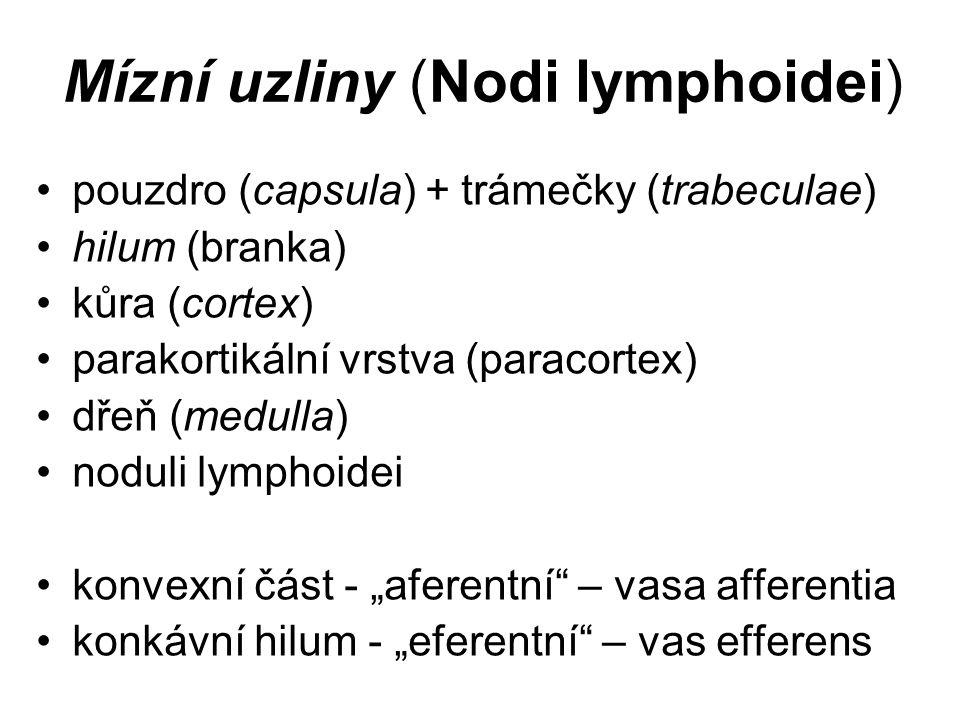 """Mízní uzliny (Nodi lymphoidei) pouzdro (capsula) + trámečky (trabeculae) hilum (branka) kůra (cortex) parakortikální vrstva (paracortex) dřeň (medulla) noduli lymphoidei konvexní část - """"aferentní – vasa afferentia konkávní hilum - """"eferentní – vas efferens"""
