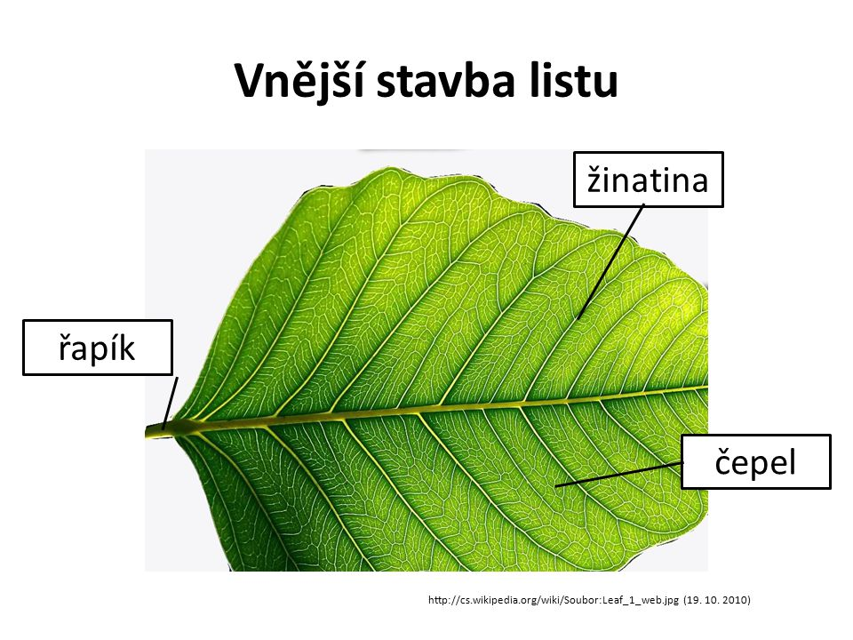 Vnější stavba listu http://cs.wikipedia.org/wiki/Soubor:Leaf_1_web.jpg (19.