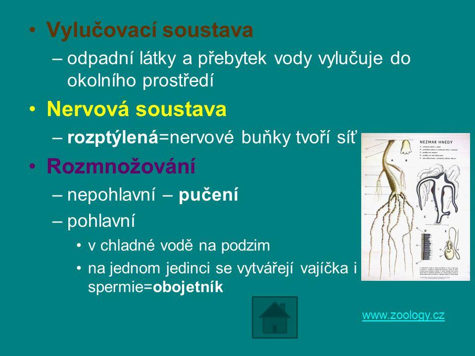 Vylučovací soustava –odpadní látky a přebytek vody vylučuje do okolního prostředí Nervová soustava –rozptýlená=nervové buňky tvoří síť Rozmnožování –n