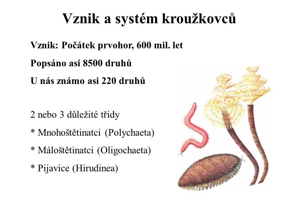 Vznik a systém kroužkovců Vznik: Počátek prvohor, 600 mil. let Popsáno asi 8500 druhů U nás známo asi 220 druhů 2 nebo 3 důležité třídy * Mnohoštětina