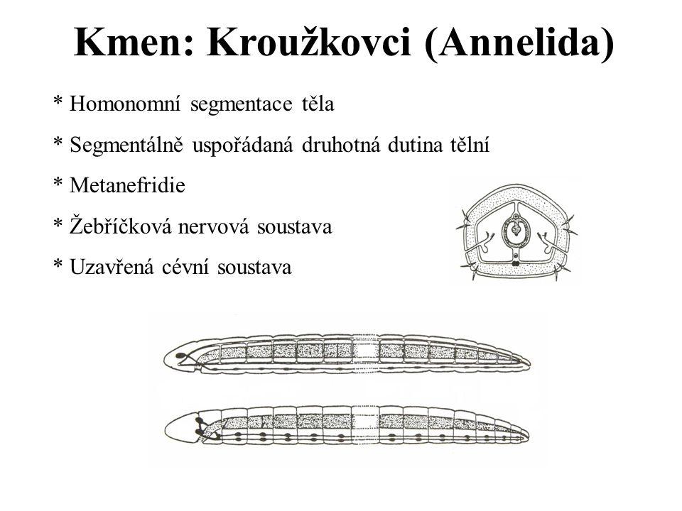 Kmen: Kroužkovci (Annelida) * Homonomní segmentace těla * Segmentálně uspořádaná druhotná dutina tělní * Metanefridie * Žebříčková nervová soustava *