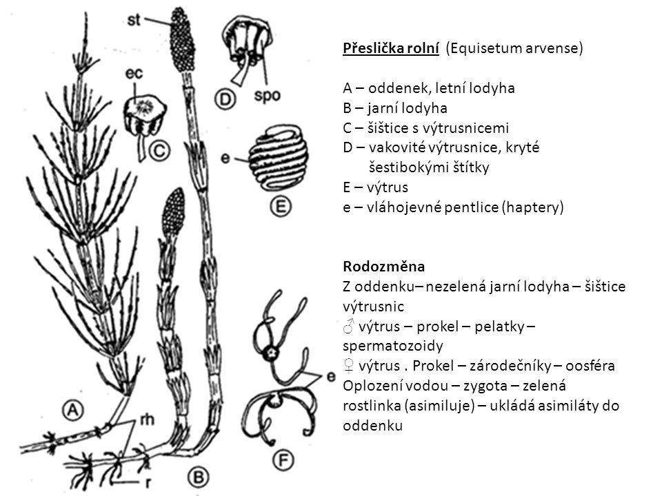 Přeslička rolní (Equisetum arvense) A – oddenek, letní lodyha B – jarní lodyha C – šištice s výtrusnicemi D – vakovité výtrusnice, kryté šestibokými š