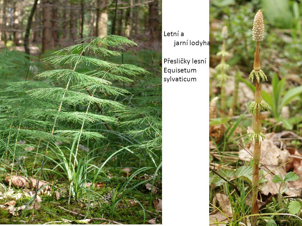 Letní a jarní lodyha Přesličky lesní Equisetum sylvaticum