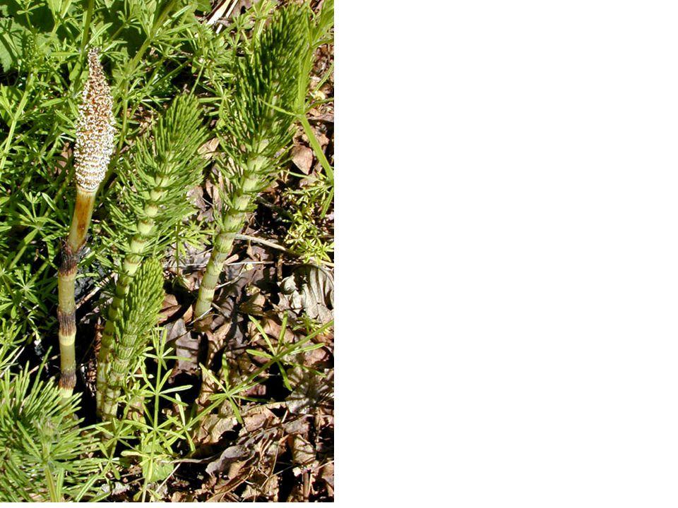 Přeslička bahenní (Equisetum palustre)