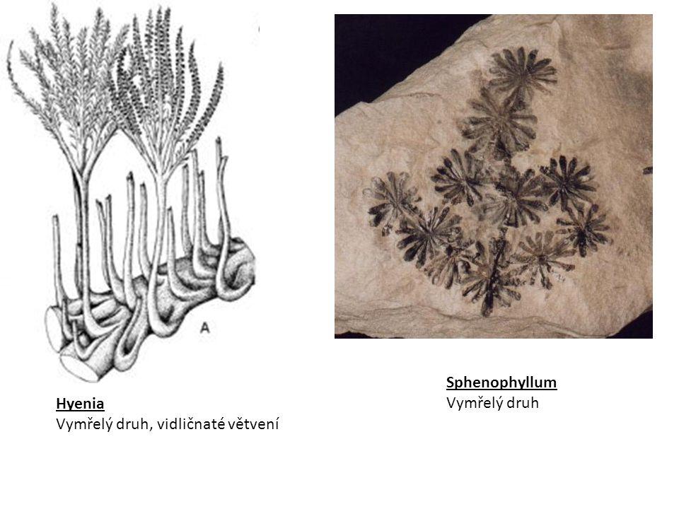 Calamites – 30 m Sphenophyllum 1 m