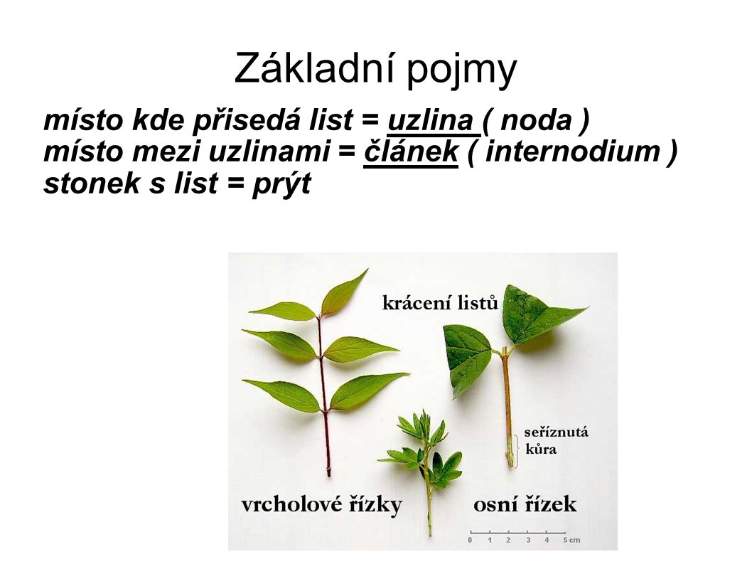 Základní pojmy místo kde přisedá list = uzlina ( noda ) místo mezi uzlinami = článek ( internodium ) stonek s list = prýt