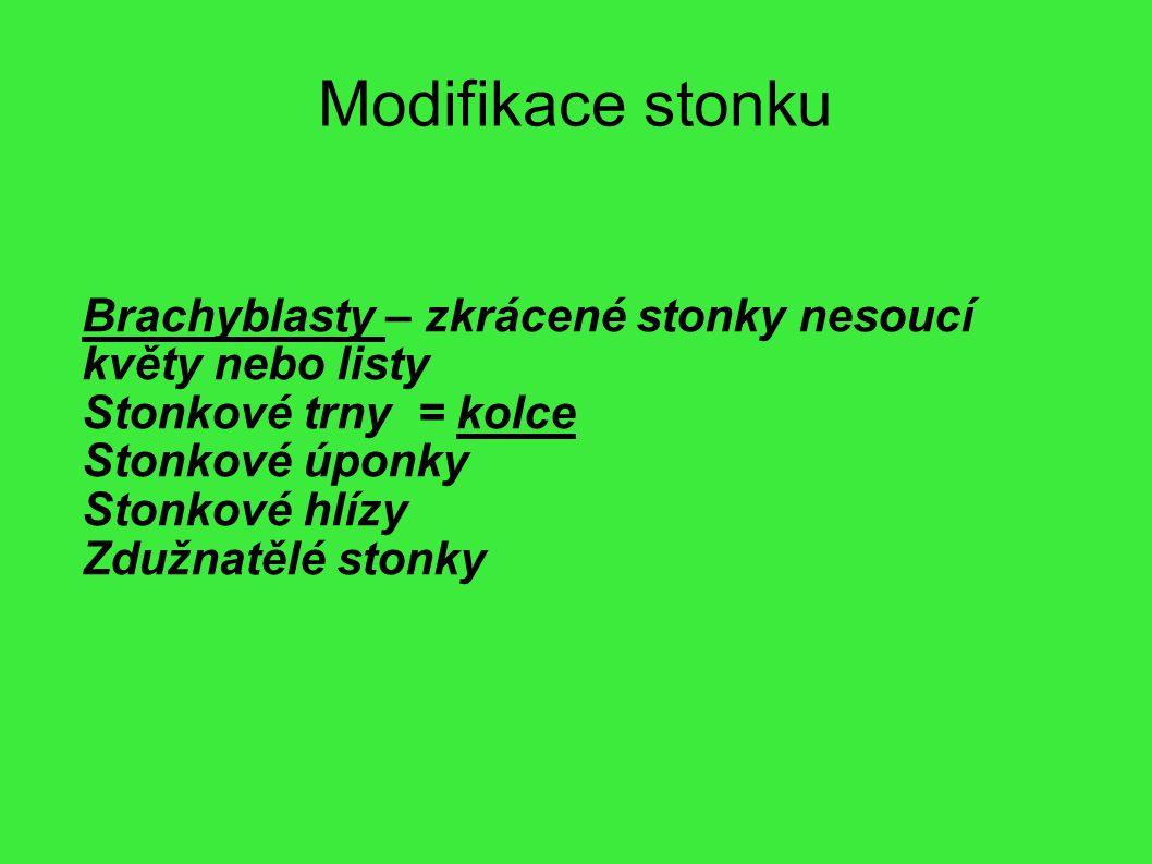 Modifikace stonku Brachyblasty – zkrácené stonky nesoucí květy nebo listy Stonkové trny = kolce Stonkové úponky Stonkové hlízy Zdužnatělé stonky