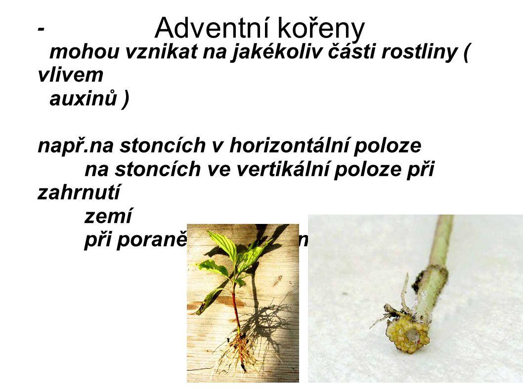 Adventní kořeny - mohou vznikat na jakékoliv části rostliny ( vlivem auxinů ) např.na stoncích v horizontální poloze na stoncích ve vertikální poloze