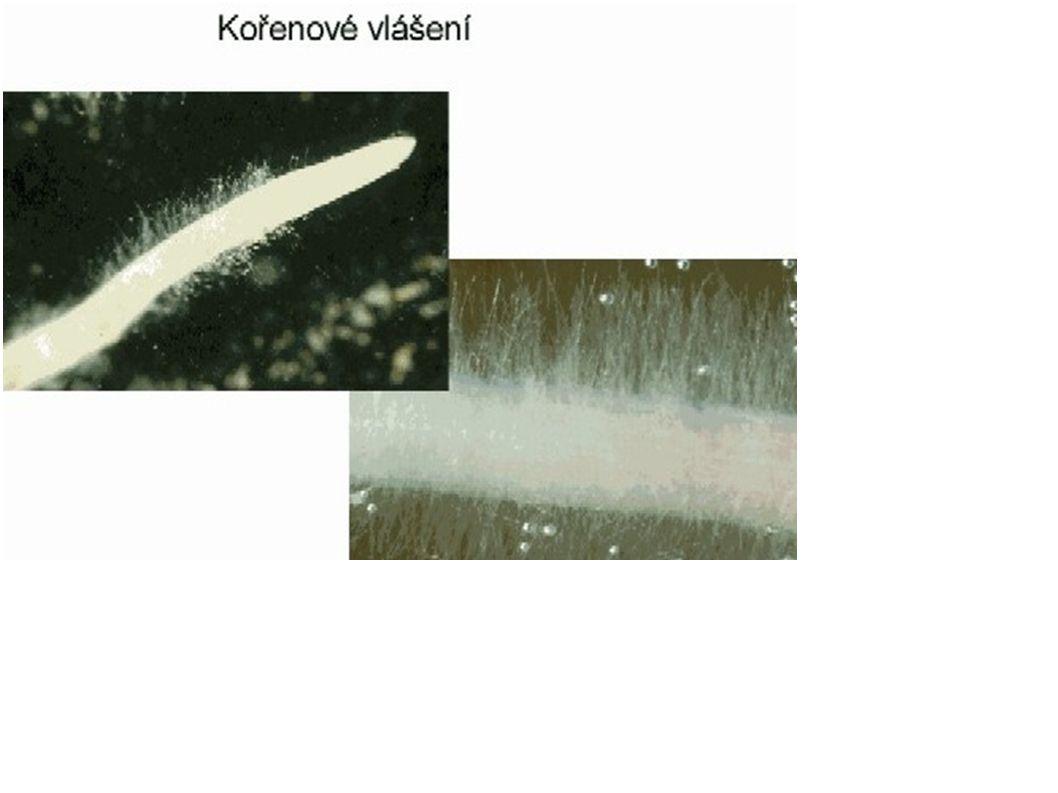 Řapík - připevnění listu na stonek, různý tvar a délka - někdy chybí – listy bezřapíkaté