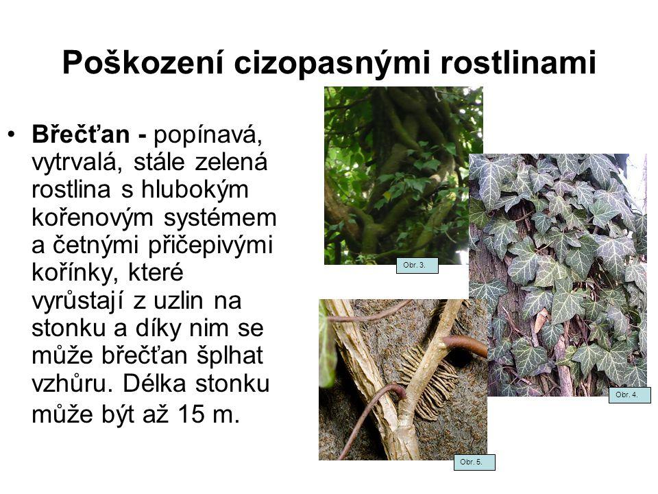 Poškození cizopasnými rostlinami Břečťan - popínavá, vytrvalá, stále zelená rostlina s hlubokým kořenovým systémem a četnými přičepivými kořínky, kter