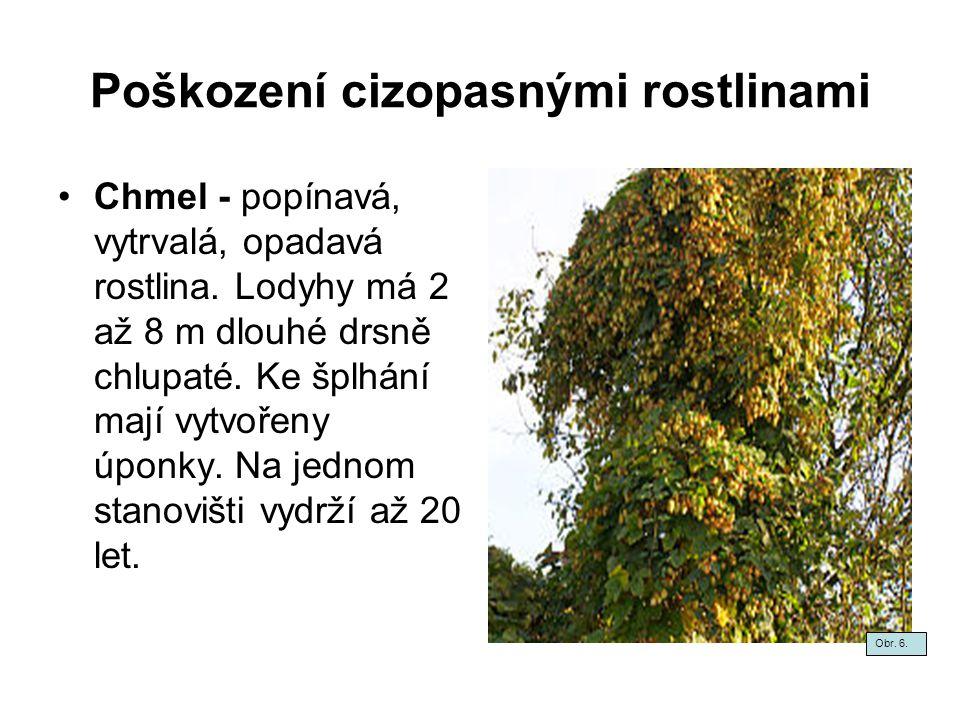 Poškození cizopasnými rostlinami Chmel - popínavá, vytrvalá, opadavá rostlina. Lodyhy má 2 až 8 m dlouhé drsně chlupaté. Ke šplhání mají vytvořeny úpo