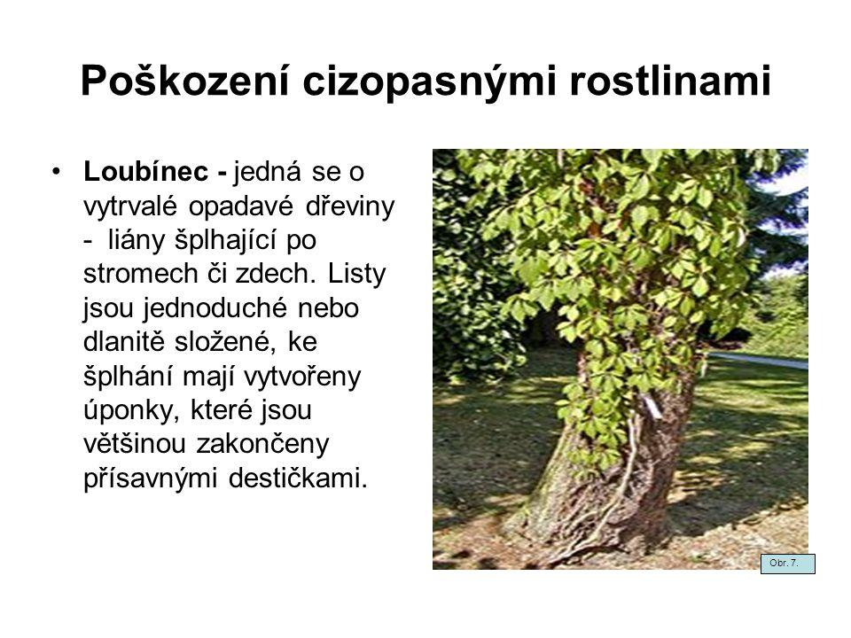 Poškození cizopasnými rostlinami Loubínec - jedná se o vytrvalé opadavé dřeviny - liány šplhající po stromech či zdech. Listy jsou jednoduché nebo dla