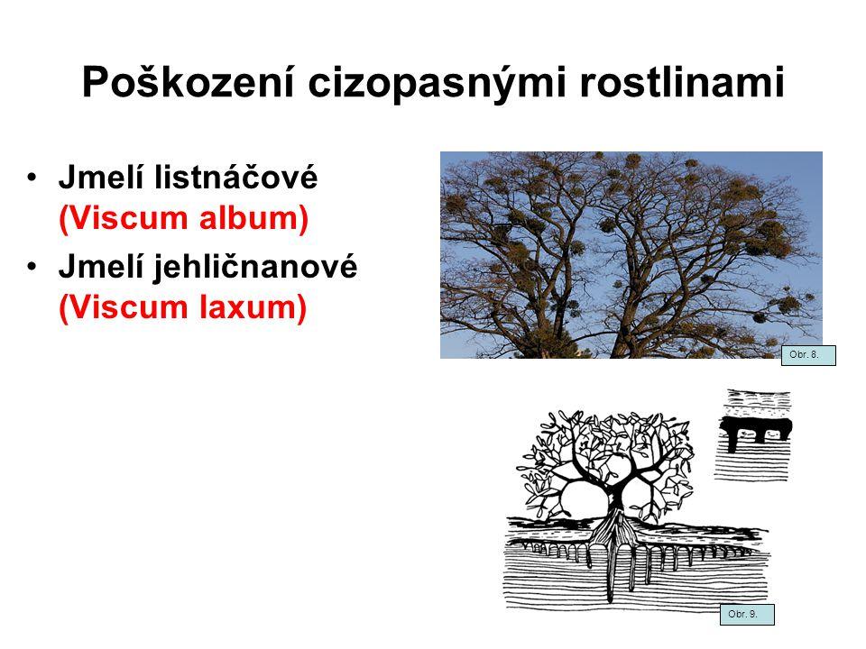 Poškození cizopasnými rostlinami Jmelí listnáčové (Viscum album) Jmelí jehličnanové (Viscum laxum) Obr. 8. Obr. 9.