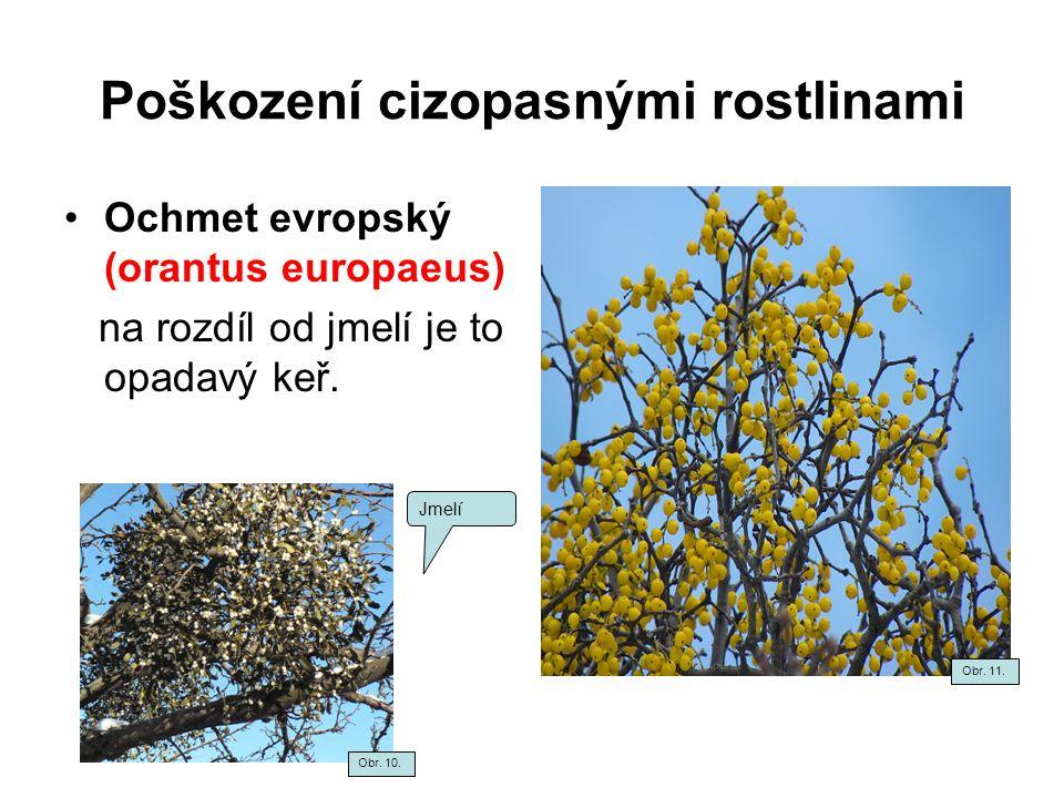 Poškození cizopasnými rostlinami Ochmet evropský (orantus europaeus) na rozdíl od jmelí je to opadavý keř. Jmelí Obr. 10. Obr. 11.
