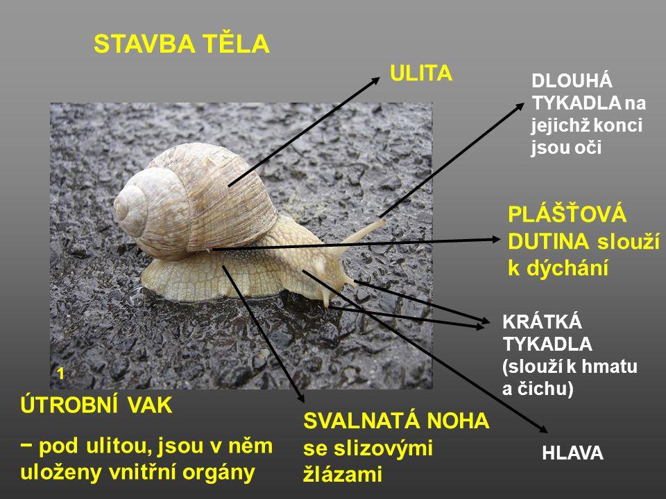 STAVBA TĚLA ULITA SVALNATÁ NOHA se slizovými žlázami PLÁŠŤOVÁ DUTINA slouží k dýchání KRÁTKÁ TYKADLA (slouží k hmatu a čichu) DLOUHÁ TYKADLA na jejich