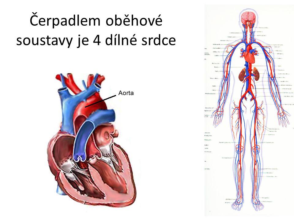 Čerpadlem oběhové soustavy je 4 dílné srdce