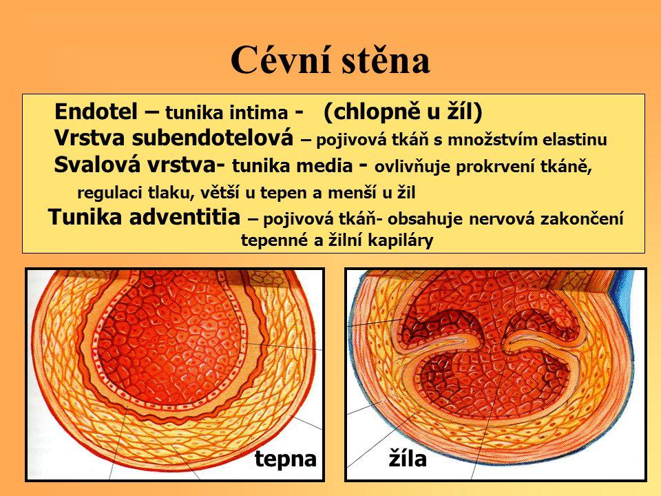 Cévní stěna Endotel – tunika intima - (chlopně u žíl) Vrstva subendotelová – pojivová tkáň s množstvím elastinu Svalová vrstva- tunika media - ovlivňu
