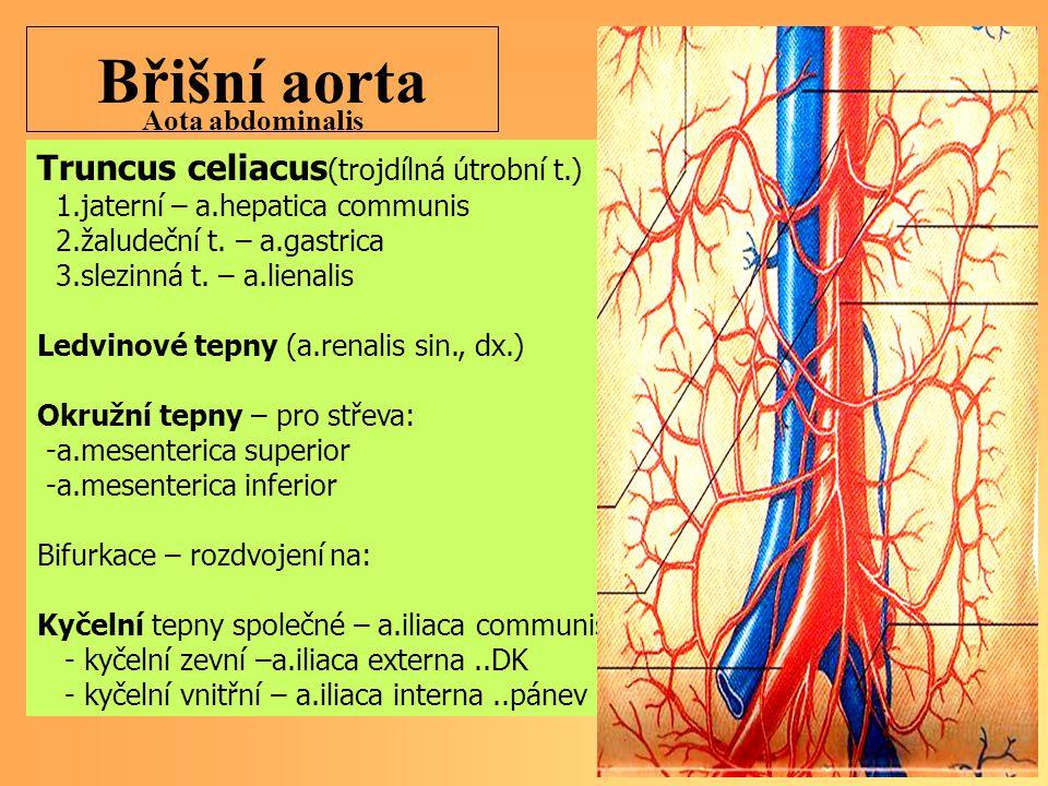 Břišní aorta Truncus celiacus (trojdílná útrobní t.) 1.jaterní – a.hepatica communis 2.žaludeční t. – a.gastrica 3.slezinná t. – a.lienalis Ledvinové