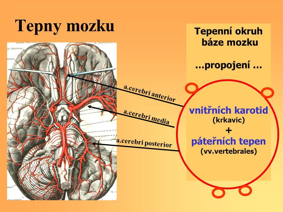 Tepny mozku Tepenní okruh báze mozku …propojení … vnitřních karotid (krkavic) + páteřních tepen (vv.vertebrales) a.cerebri anterior a.cerebri media a.