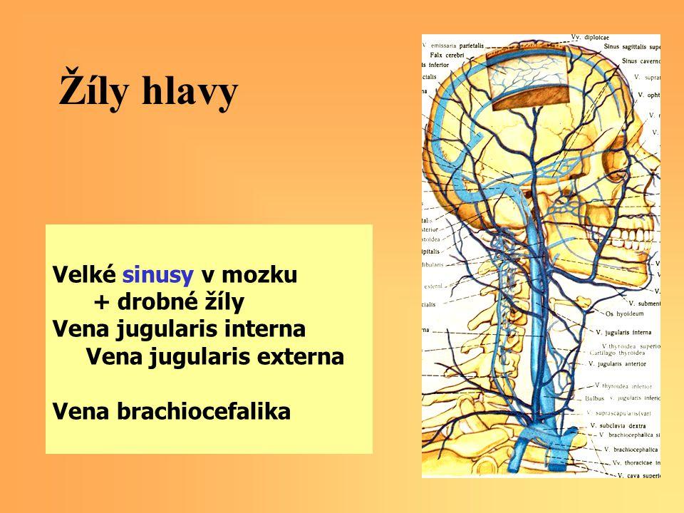 Žíly hlavy Velké sinusy v mozku + drobné žíly Vena jugularis interna Vena jugularis externa Vena brachiocefalika