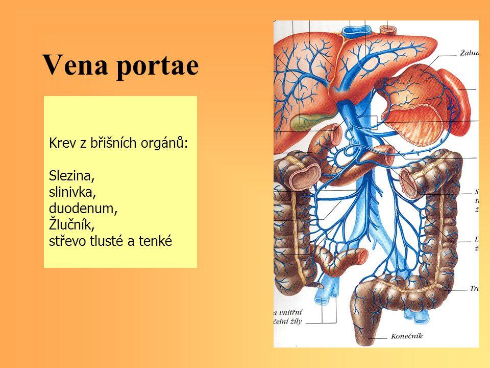 Vena portae Krev z břišních orgánů: Slezina, slinivka, duodenum, Žlučník, střevo tlusté a tenké
