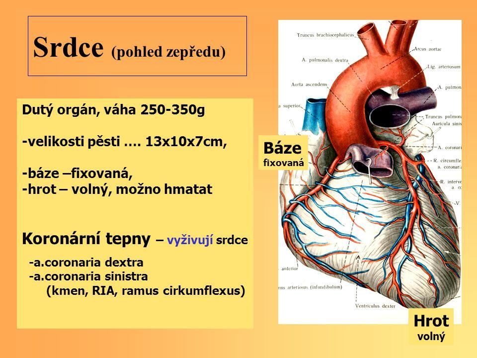 Srdce (pohled zepředu) Dutý orgán, váha 250-350g -velikosti pěsti …. 13x10x7cm, -báze –fixovaná, -hrot – volný, možno hmatat Koronární tepny – vyživuj