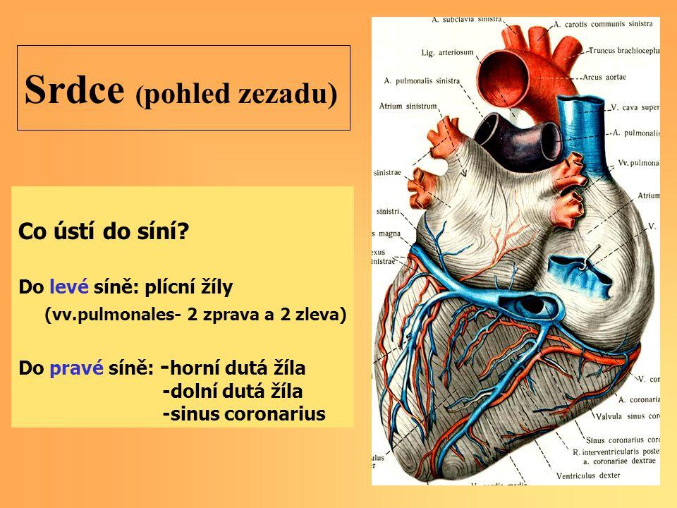 Srdce ( pohled zezadu) Co ústí do síní? Do levé síně: plícní žíly (vv.pulmonales- 2 zprava a 2 zleva) Do pravé síně: - horní dutá žíla -dolní dutá žíl