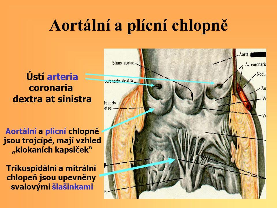 """Aortální a plícní chlopně Ústí arteria coronaria dextra at sinistra Aortální a plícní chlopně jsou trojcípé, mají vzhled """"klokaních kapsiček"""" Trikuspi"""