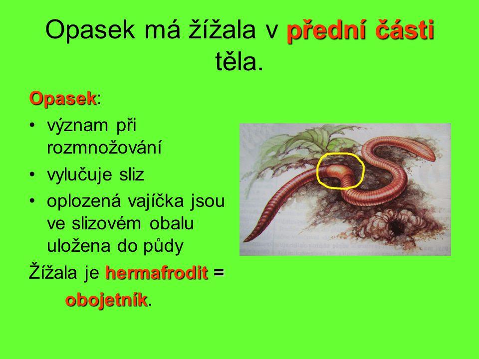 přední části Opasek má žížala v přední části těla.