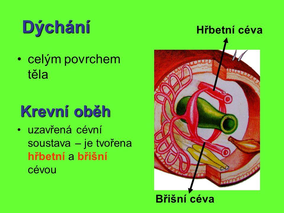 Dýchání celým povrchem těla Krevní oběh Krevní oběh uzavřená cévní soustava – je tvořena hřbetní a břišní cévou Hřbetní céva Břišní céva