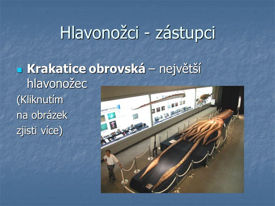 Hlavonožci - zástupci Krakatice obrovská – největší hlavonožec (Kliknutím na obrázek zjisti více)