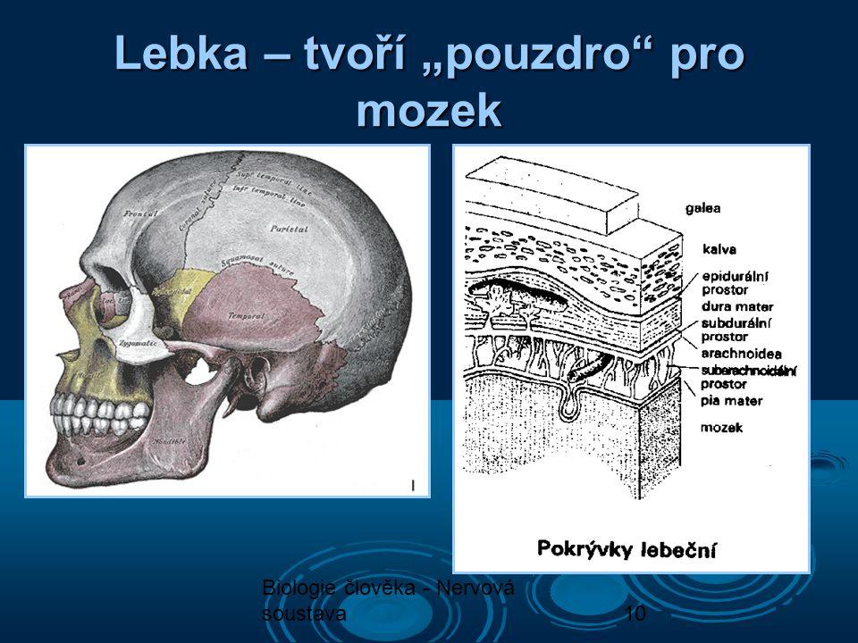"""Biologie člověka - Nervová soustava10 Lebka – tvoří """"pouzdro"""" pro mozek"""