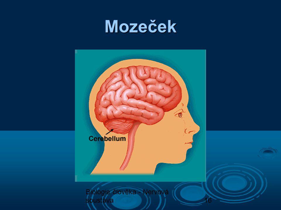 Biologie člověka - Nervová soustava16 Mozeček