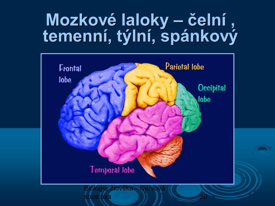 Biologie člověka - Nervová soustava20 Mozkové laloky – čelní, temenní, týlní, spánkový