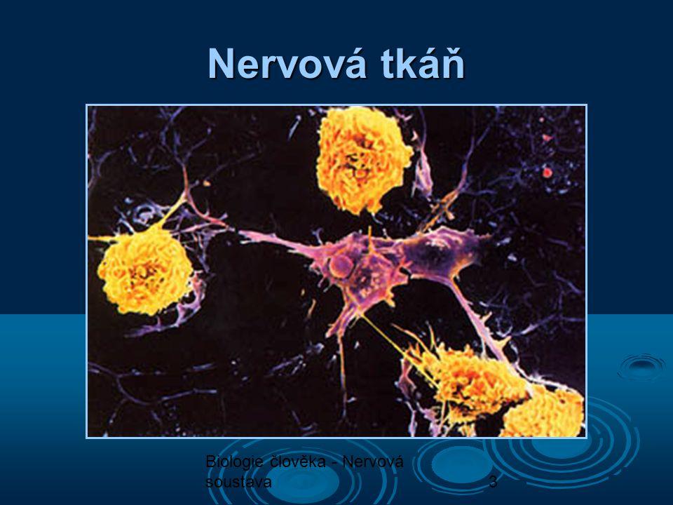 Biologie člověka - Nervová soustava4 Nervová tkáň U/56  Neuron - základní stavební a funkční jednotka  Synapse – spojení neuronů  Složení neuronu: tělo a nervové výběžky (krátké, dlouhé)