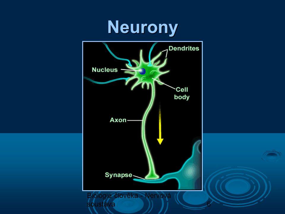7 Centrální nervová soustava  Mozek: Prodloužená mícha Prodloužená mícha Mozeček Mozeček Varolův most Varolův most Střední mozek Střední mozek Mezimozek Mezimozek Přední mozek Přední mozek  Páteřní mícha
