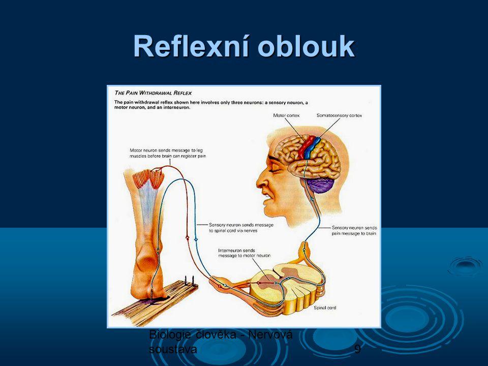 Biologie člověka - Nervová soustava9 Reflexní oblouk
