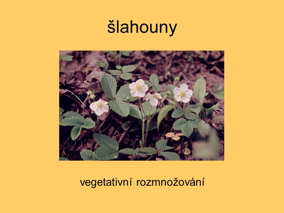 šlahouny vegetativní rozmnožování