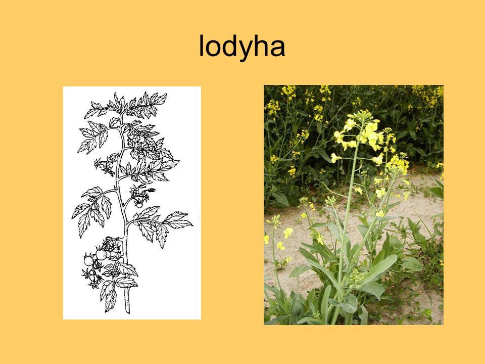 lodyha