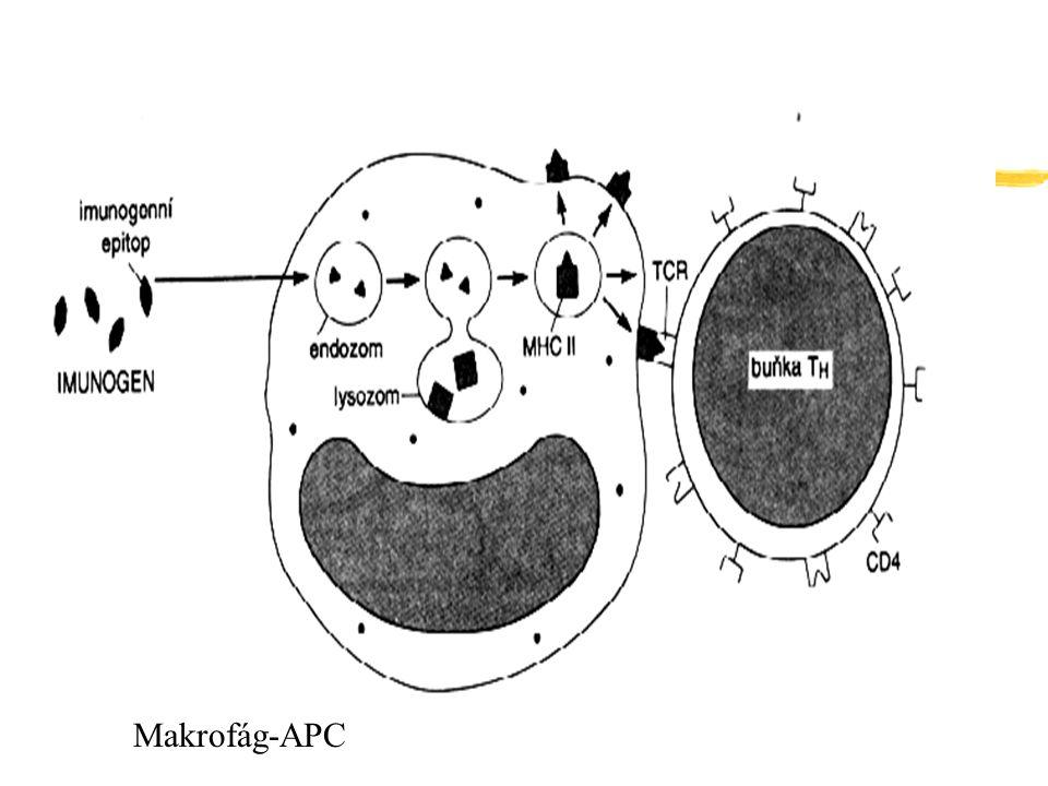 Makrofág-APC