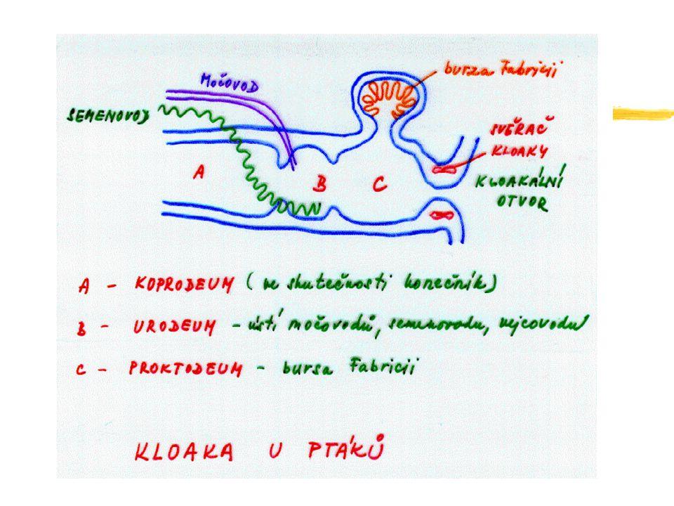 BUŇKY IMUNITNÍHO SYSTÉMU zTrombocyty zEndoteliální buňky zFibroblasty (pojivová tkáň) zMonocyty makrofágy zDendritické buňky zGranulocyty zŽírné buňky